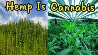 Hemp is cannabis fields